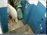 Белый медведь забежал в один из падиков Новой Земли, Архангельская область, увидел в каких