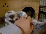 Лемур лижет руки !!!! Funny dog,cat,kittens,котэ,коты,кошки