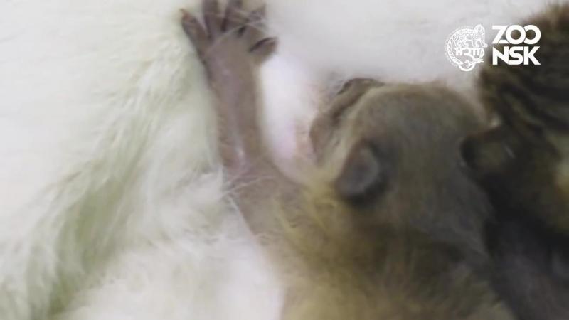 Взвешивание малышей енотов в Новосибирском зоопарке имени Р.А. Шило