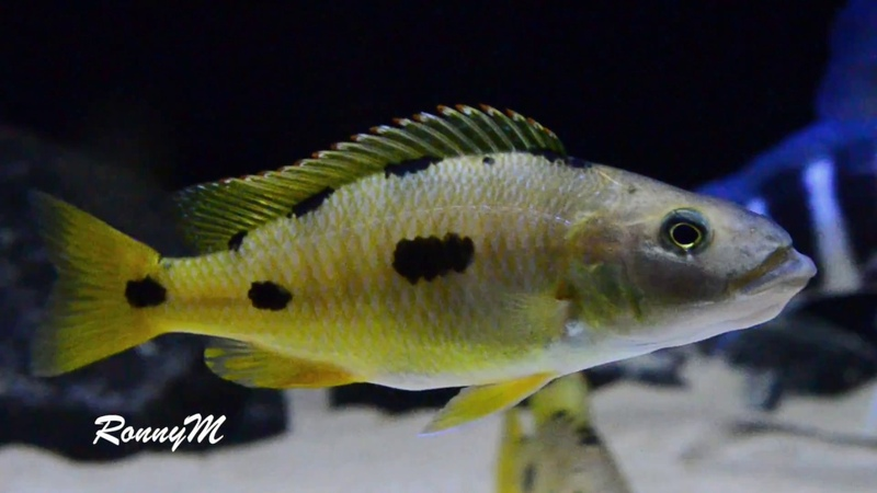Exochochromis anagenys - Tropical Krill Chips