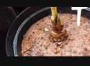 Multiplicando bulbo de amarilis e colhendo sementes
