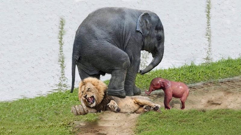 Sư tử Săn voi con bị gia đình voi đánh trả như thế nào?