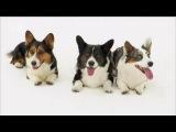 Порода собак - Вельш корги кардиган