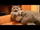 Британский вислоухий кот, игривый лентяй
