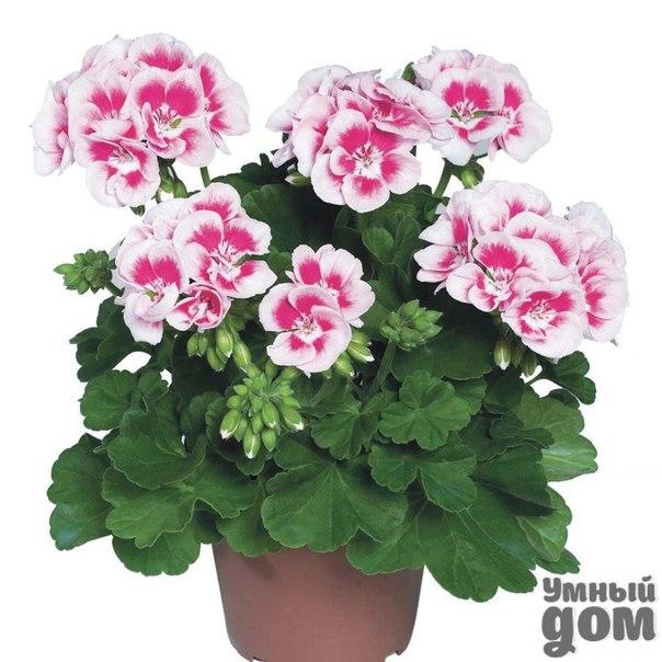 Лекарственные декоративные растения. Герань (пеларгония). Герань – самое распростарненное декоративное лекарственное растение и любимый домашними хозяйками комнатный цветок. Практически на каждом кухонном окошке можно встретить яркие или нежные разноцветные соцветия герани. Растение без сомнения является домашним доктором. В составе растения имеется действующий компонент - гераниол. Это вещество обладает антибактериальными и антивирусными свойствами. Препараты на основе герани используются при…