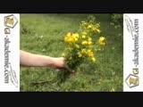 Лечебные растения - Зверобой ktxt,yst hfcntybz - pdthj,jq