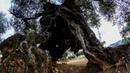 Olivos Milenarios en la Comunitat Valenciana