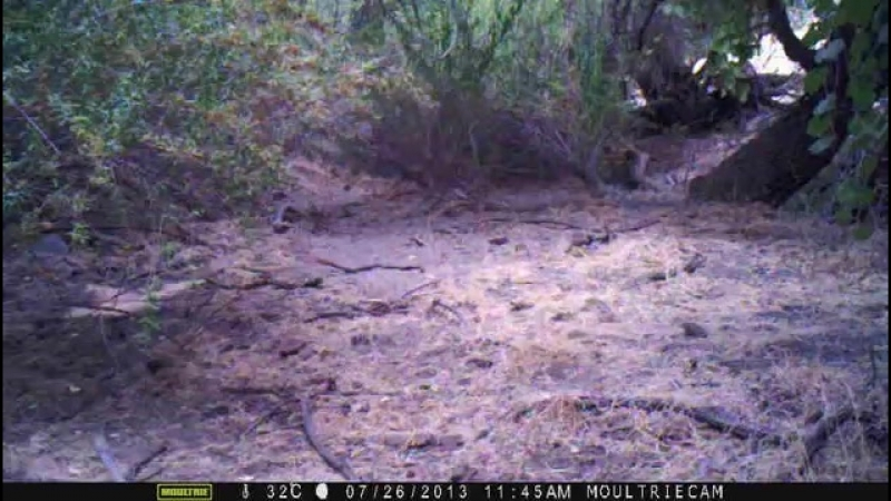 Bobcat dinner may be a tad late