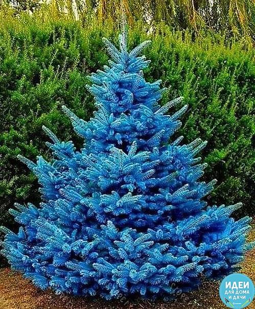 голубая ель! красота невероятная !
