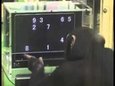 Media Slap Chimp Solves Puzzle Faster Than Most Humans