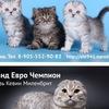 Питомник шотландских кошек ELEMURRY