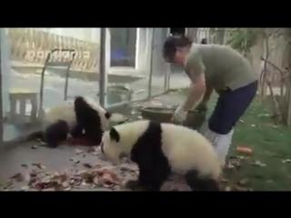 Уборка в вольере панд