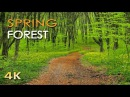 4K Spring Forest - Blackbird Song - Bird Singing/ Chirping - Ultra HD Relaxing Nature Video Sounds