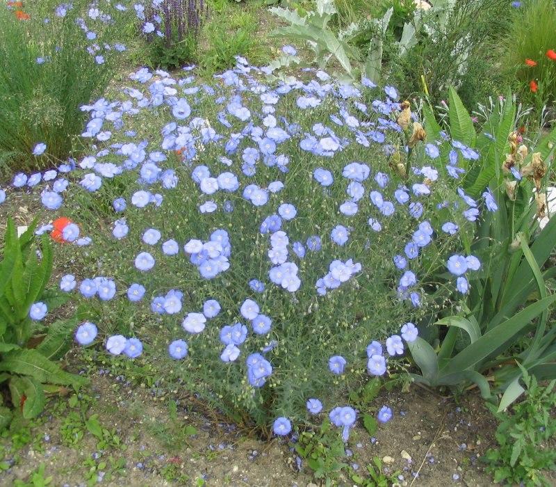 Цветок льна картинки 2