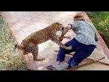 Леопард напал на оператора. Оператору наложили 49 швов / Нападения животных на людей
