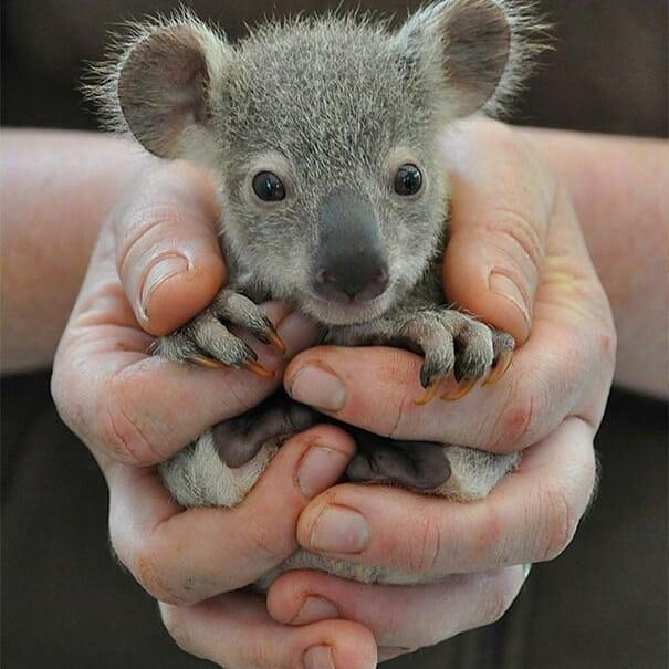 Малыш коала