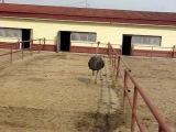 Как бегает страус