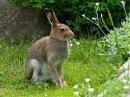 эстонская гончая и заяц
