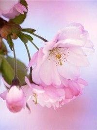 """Оригинал схемы вышивки  """"цветок сакуры """" ."""