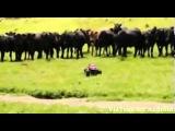 Коровы и маленькая машинка ПРИКОЛ