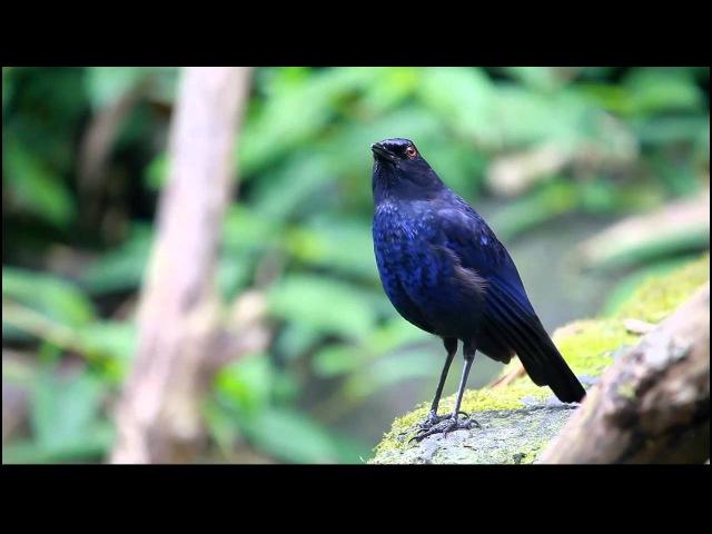Тайваньский свистящий дрозд / Taiwan (Formosan) Whistling Thrush / Myophonus insularis