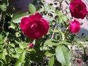 Мои цветы на даче My flowers are at the dacha