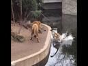 Leão vacilão