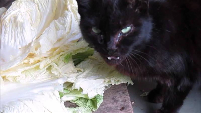 白菜を食べる猫 Canon デジタルカメラ IXY130で撮影。