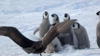 маленький герой - пингвин Адели, это самый воинственный вид из пингвинов, смело встал на защиту детенышей императорского пингвина...