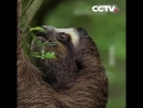 Почему ленивцы являются самыми ленивыми животными