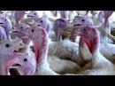 The video the meat industry doesn't want you to see. лучшие бои фёдор федор емельяненко тюмень москва тижи ссср  сталин киев гадкий я  зайцев+1 интерны сереал сиськи оргазм трахнул вдул 18+ порно секс в рот анал  ass anal стриптиз член большой китай оргазм фарш жесть дтп украина оппозиция путин владимир владимирович открытие закрытие  олимпийских игр олимпийский огонь олимпиада 2014 сочи бой без правил ну погоди для детей дети детский мультик мультфильм прикол дпс мент мусор зона тюрьма смерч конец
