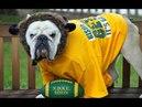 ПОПРОБУЙ НЕ ЗАСМЕЯТЬСЯ - Смешные Приколы и фейлы с Животными до слез, смешные собаки 74