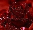 """Оригинал - Схема вышивки  """"Алая роза """" - Схемы автора  """"irina21868 """" - Вышивка крестом."""