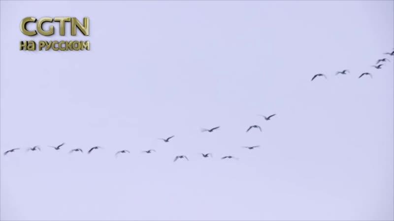 Маньчжурские журавли- первые перелётные птицы