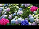 4K – Most Beautiful Hydrangea Flowers Garden And Places