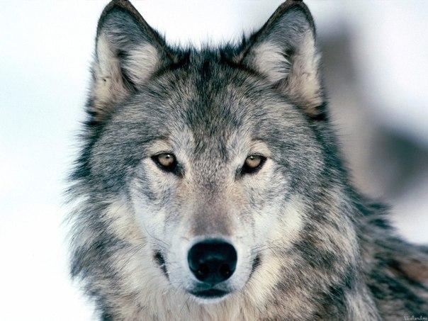 Злой волк картинки карандашом - 5