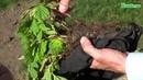 Как посадить малину Смотрите ролик перед посадкой малины