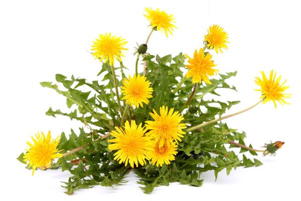 Растения-индикаторы или посоветуйтесь с сорняками. Если спросить у дачника - что он испытывает при виде сорных растений на своём огороде, то ответ однозначен: «Негодую!». И это понятно, так как