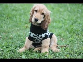 Дрессировка щенка (5 месяцев) английский кокер-спаниель Чарли