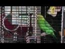 Попугайчик Лёнька поёт