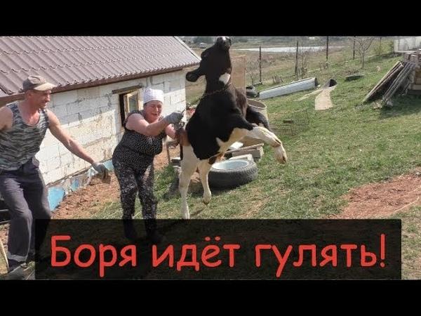 Выгон коров на пастбище Деревенское родео с быком Борей Немного о электропастухе