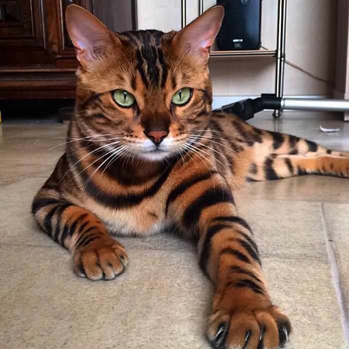 Бенгальский котик. Пр
