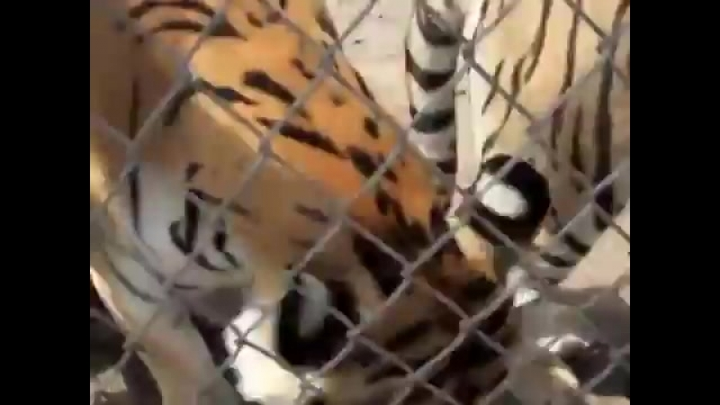 Особое мурлыканье счастливого тигра