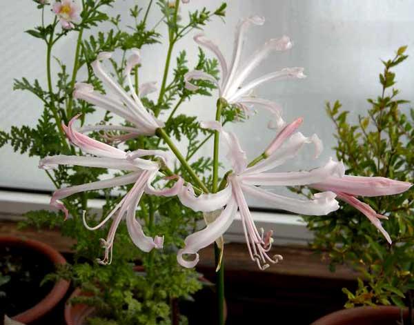 Нерине (нерина) Нерине (нерина), цветок который принадлежит к «цветочной элите», а точнее к семейству амариллисовых, все представители которого (валлота, гиппеаструм, амариллис, кливия,
