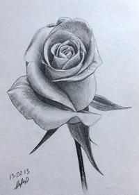 фото роза нарисованная карандашом
