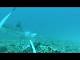 Reef-Fidelity-and-Migration-of-Tiger-Sharks-Galeocerdo-cuvier-across-the-Coral-Sea-pone