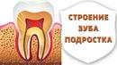 Как растут зубы. Строение и анатомия зубов подростка | Подростковая стоматология | Дентал ТВ