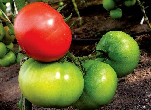 Как дозреть зеленые помидоры? - 4homes ru