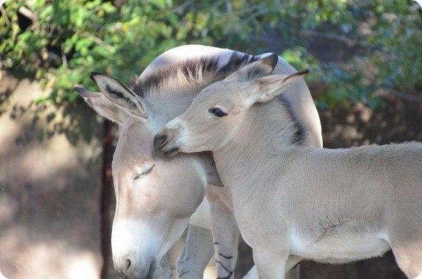 Администрация зоопарк Сент-Луиса (Saint Louis Zoo), что в штате Миссури, объявила о том, что в период с 19 августа по 15 октября у них родилось...  #zoopicture #Животные #Осел