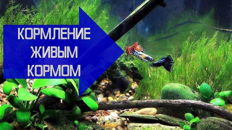 Кормление аквариумных рыб живым кормом